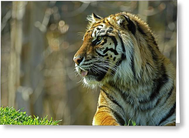 Greeting Card featuring the photograph Sumatran Tiger by JT Lewis