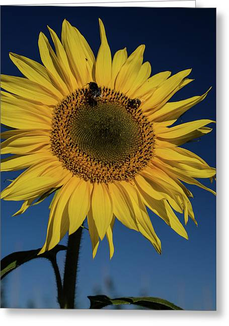 Sunflower Fields Greeting Card