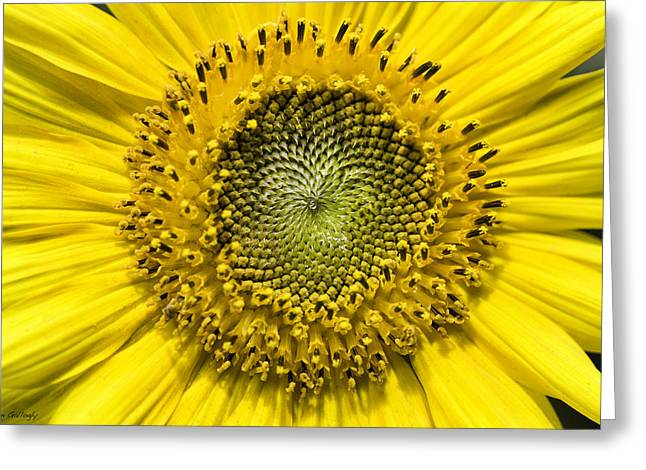 Buttonwood Farm Greeting Cards - Sunflower Greeting Card by Fran Gallogly