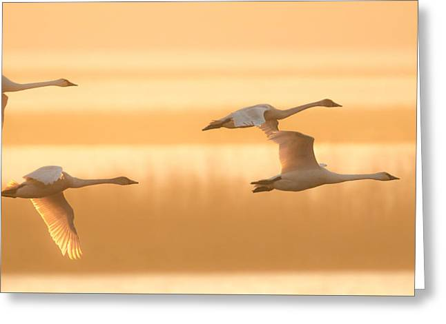 Greeting Card featuring the photograph 4 Swans by Kelly Marquardt
