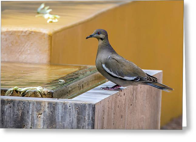 White-winged Dove Greeting Card by Tam Ryan