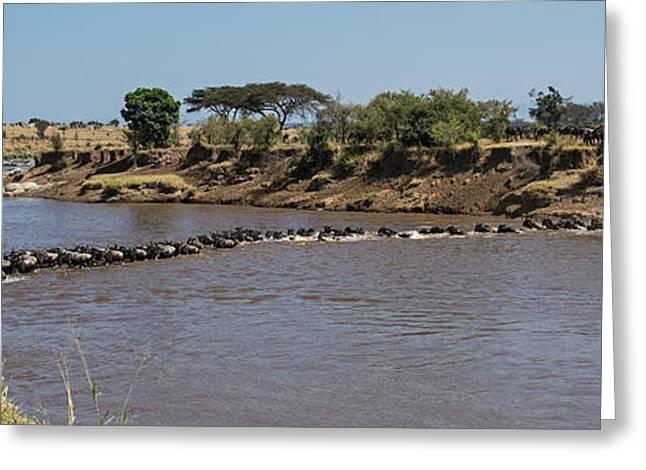 Wildebeests Connochaetes Taurinus Greeting Card