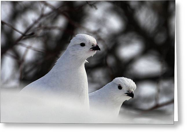 Willow Ptarmigan Greeting Card