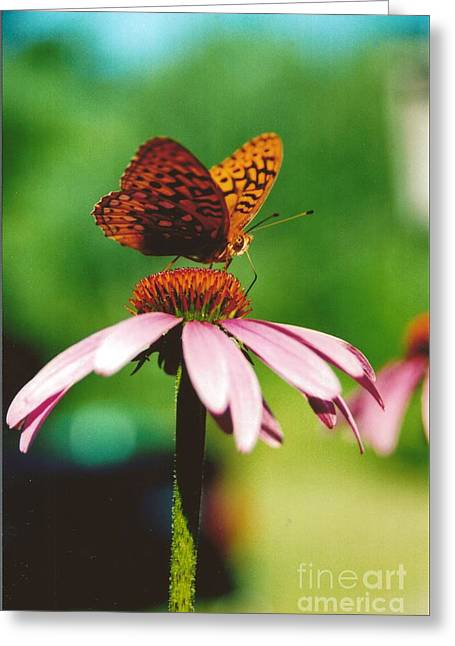 #416 14a Butterfly Fritillary, Coneflower Lunch Break Good Till The Last Drop Greeting Card by Robin Lee Mccarthy Photography