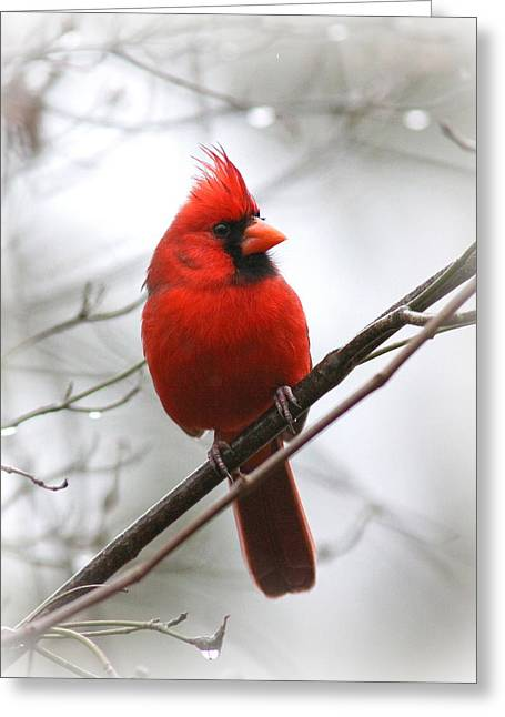4772-001 - Northern Cardinal Greeting Card by Travis Truelove