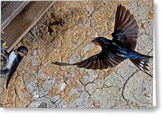 Barn Swallow Hirundo Rustica Greeting Card