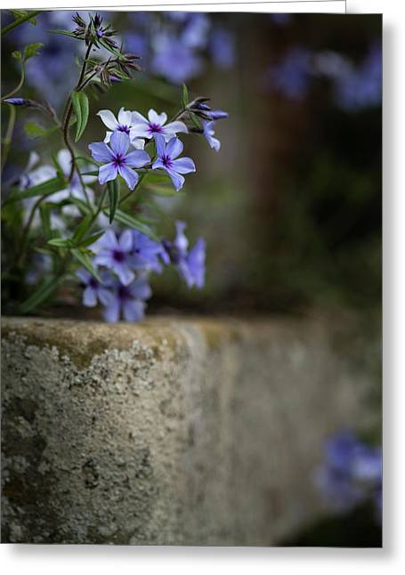 Beautiful Image Of Wild Blue Phlox Flower In Spring Overflowing  Greeting Card