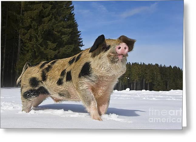 Boar In The Snow Greeting Card by Jean-Louis Klein & Marie-Luce Hubert
