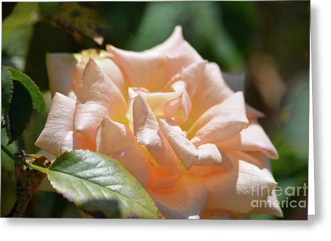 Gorgeous Rose Greeting Card by Ruth Housley