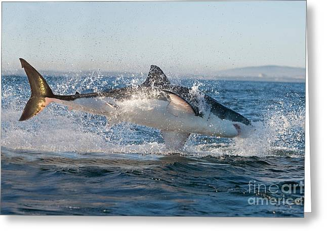 Great White Shark Carcharodon Carcharias Greeting Card