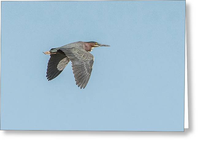 Green Heron In Flight Greeting Card by Tam Ryan