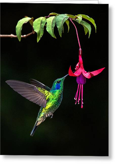 Green Violetear Colibri Thalassinus Greeting Card by Panoramic Images
