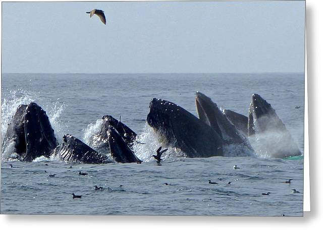 5 Humpbacks Lunge Feeding  Greeting Card