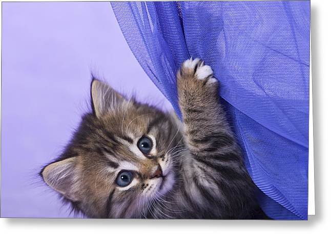 Kitten With A Curtain Greeting Card