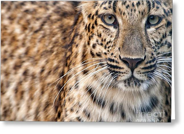 Leopard Greeting Card by White Stork Gallery