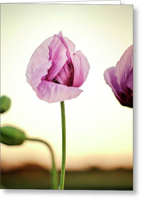 Lilac Poppy Flowers Greeting Card