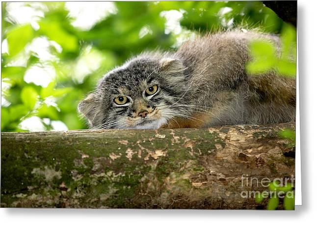 Manul Or Pallass Cat Otocolobus Manul Greeting Card