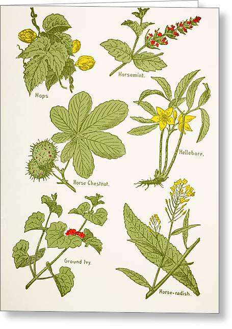 Medicinal Herbs And Plants. Clockwise Greeting Card by Vintage Design Pics