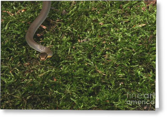 Northern Ringneck Snake Greeting Card by Ted Kinsman