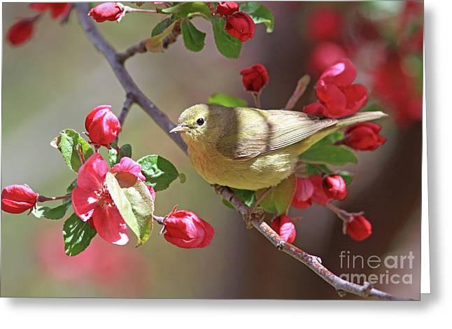 Orange-crowned Warbler Greeting Card