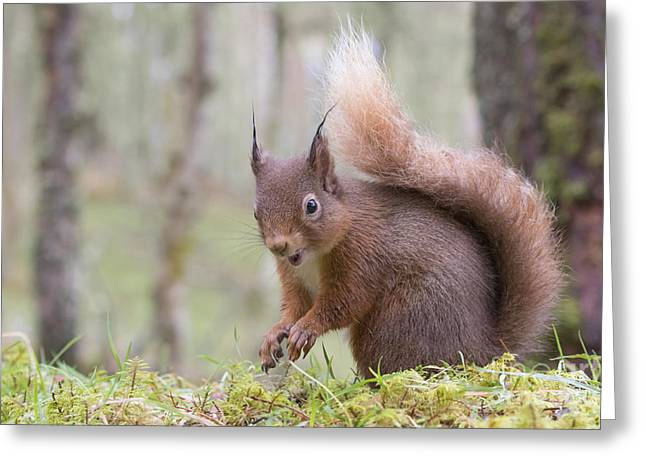Red Squirrel - Scottish Highlands #8 Greeting Card