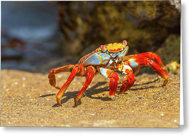 Sally Lightfoot Crab On Galapagos Islands Greeting Card by Marek Poplawski