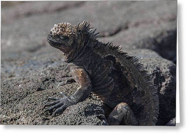 Santiago Marine Iguana Greeting Card by Harry Strharsky