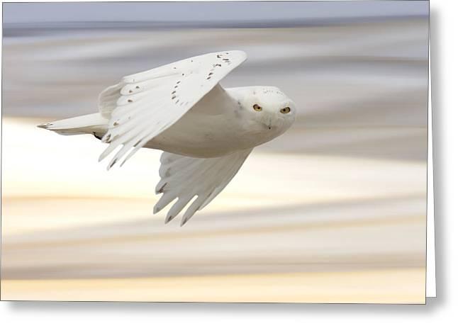 Snowy Owl In Flight Greeting Card by Mark Duffy