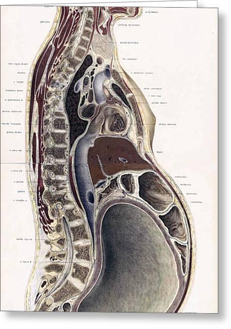 Topographisch-anatomischer, Braune, 1872 Greeting Card by Science Source