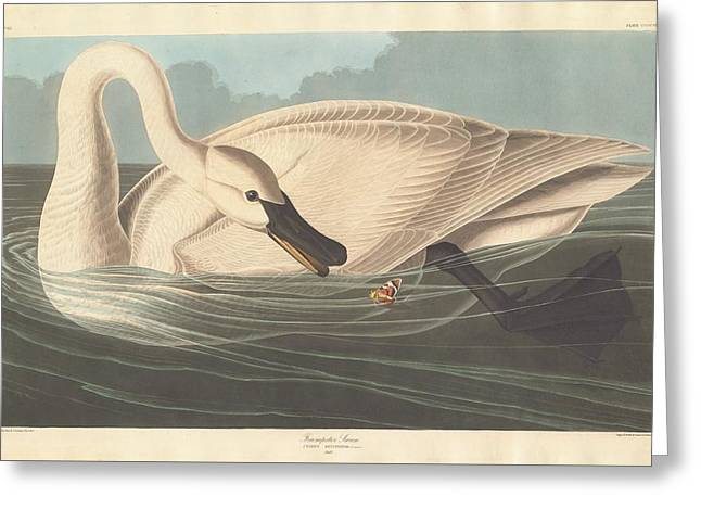 Trumpeter Swan Greeting Card by Rob Dreyer