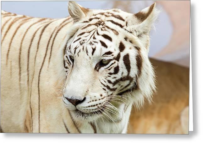 White Tiger Greeting Card by Jon Manjeot