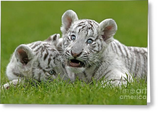 White Tiger Panthera Tigris Greeting Card