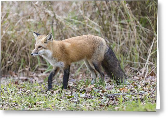 Wild Red Fox In The Wild Greeting Card