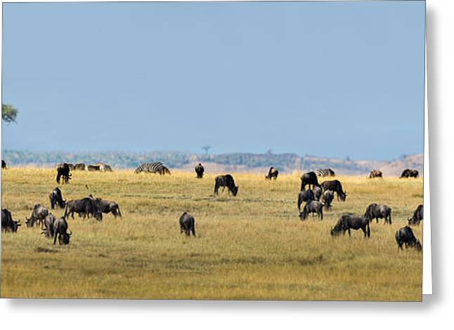 Wildebeests Connochaetes Taurinus Greeting Card by Panoramic Images
