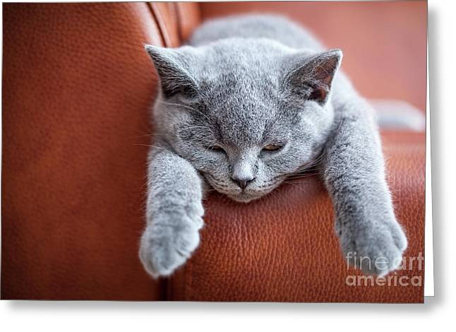 Young Cute Cat Resting On Leather Sofa. The British Shorthair Kitten With Blue Gray Fur Greeting Card