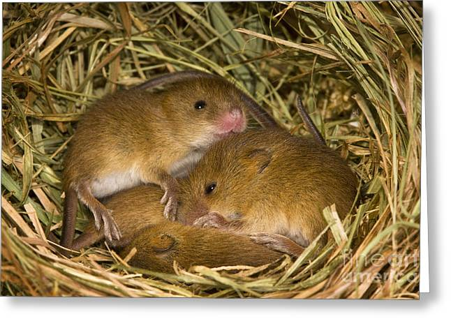 Young Eurasian Harvest Mice Greeting Card by Jean-Louis Klein & Marie-Luce Hubert