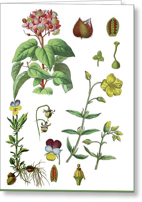 Various Medicinal Plants Greeting Card