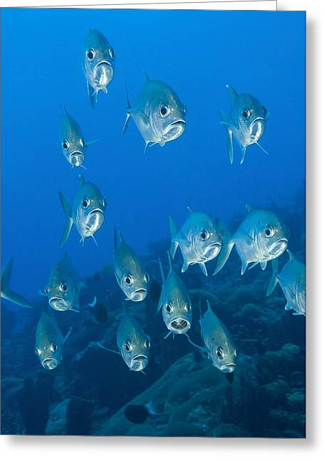 A School Of Bigeye Trevally, Papua New Greeting Card