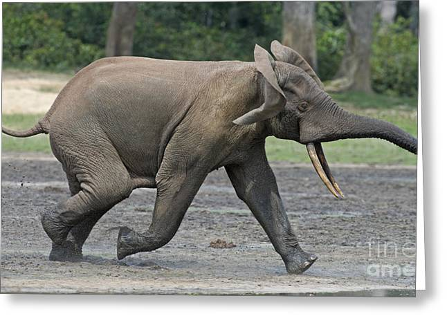 African Forest Elephant Greeting Card by Tony Camacho
