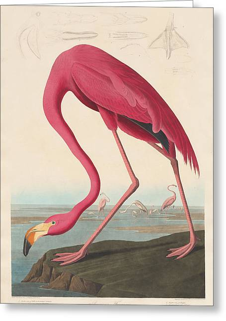 American Flamingo Greeting Card