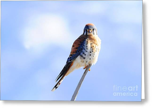 American Kestrel Greeting Card by Dennis Hammer