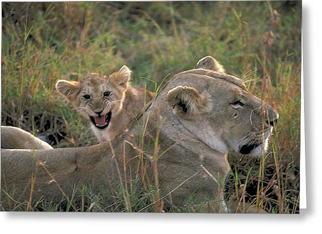Angry Lion Cub Greeting Card by Carl Purcell