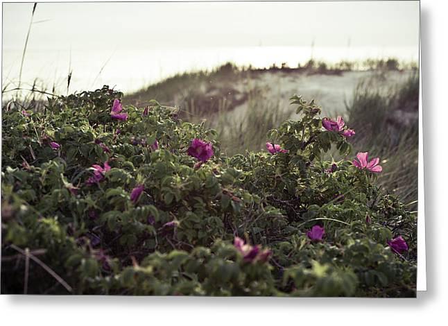 Rose Bush And Dunes Greeting Card