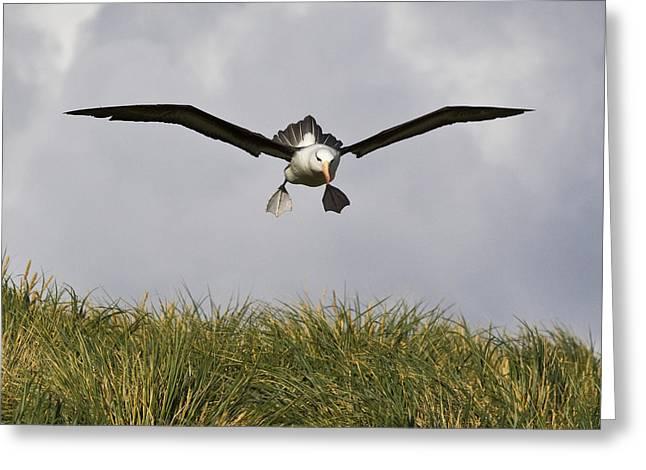 Black-browed Albatross Greeting Card by Jean-Louis Klein & Marie-Luce Hubert