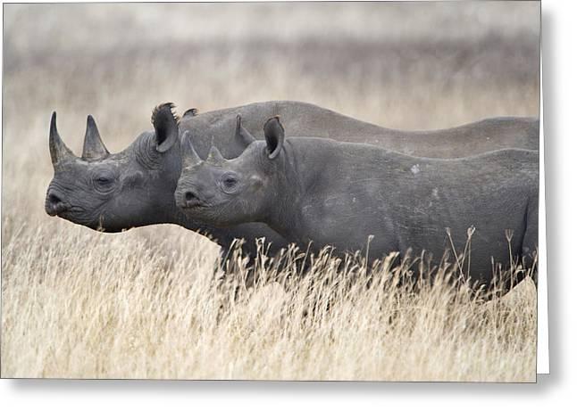 Black Rhinoceros Diceros Bicornis Greeting Card
