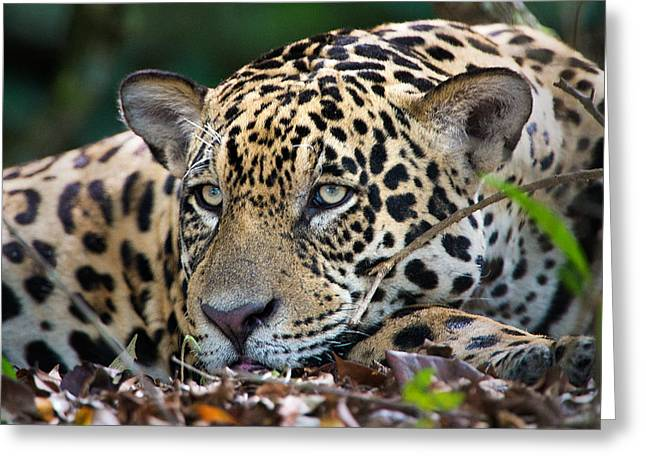 Jaguar Panthera Onca, Pantanal Greeting Card by Panoramic Images