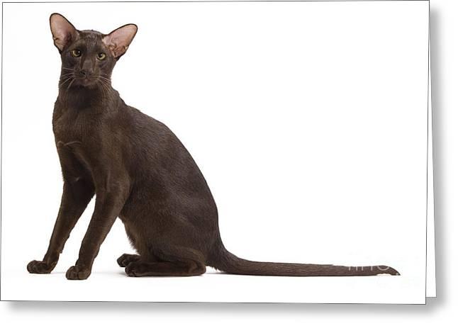 Oriental Cat Greeting Card by Jean-Michel Labat