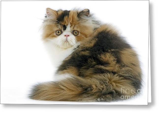 Persian Cat Greeting Card