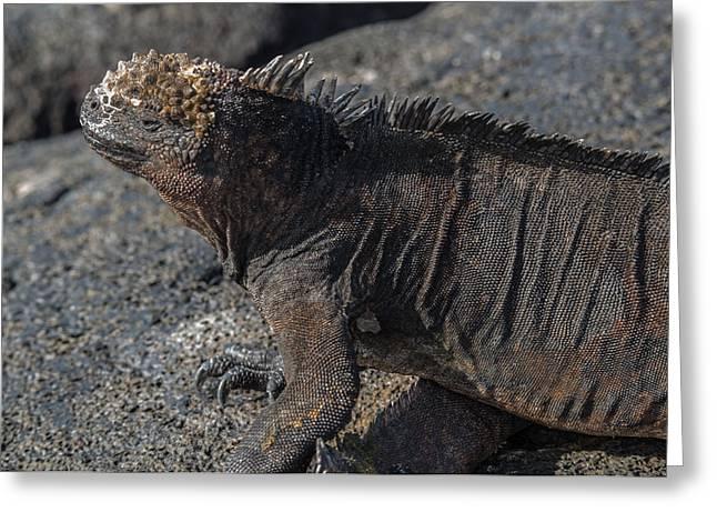 Santiago Marine Iguana Greeting Card by Harry Strharsky