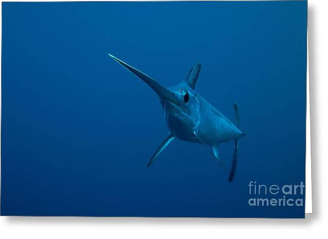 Swordfish Swimming Greeting Card by Angel Fitor